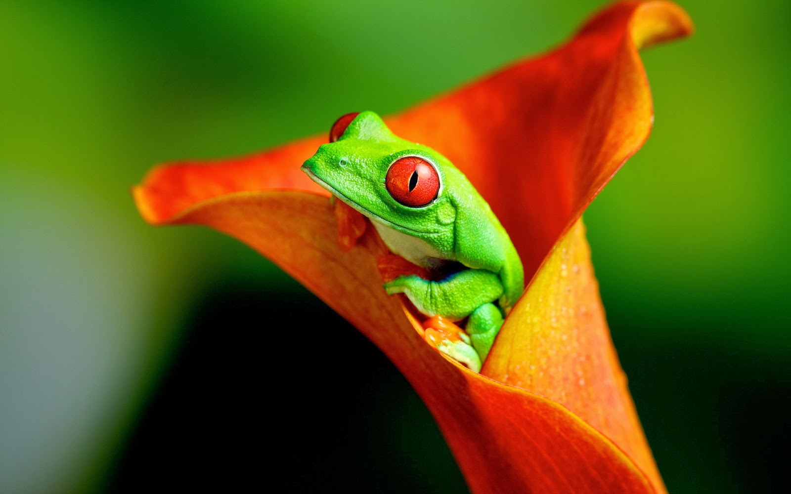 Frog wallpaper HD   beautiful desktop wallpapers 2014 1600x1000