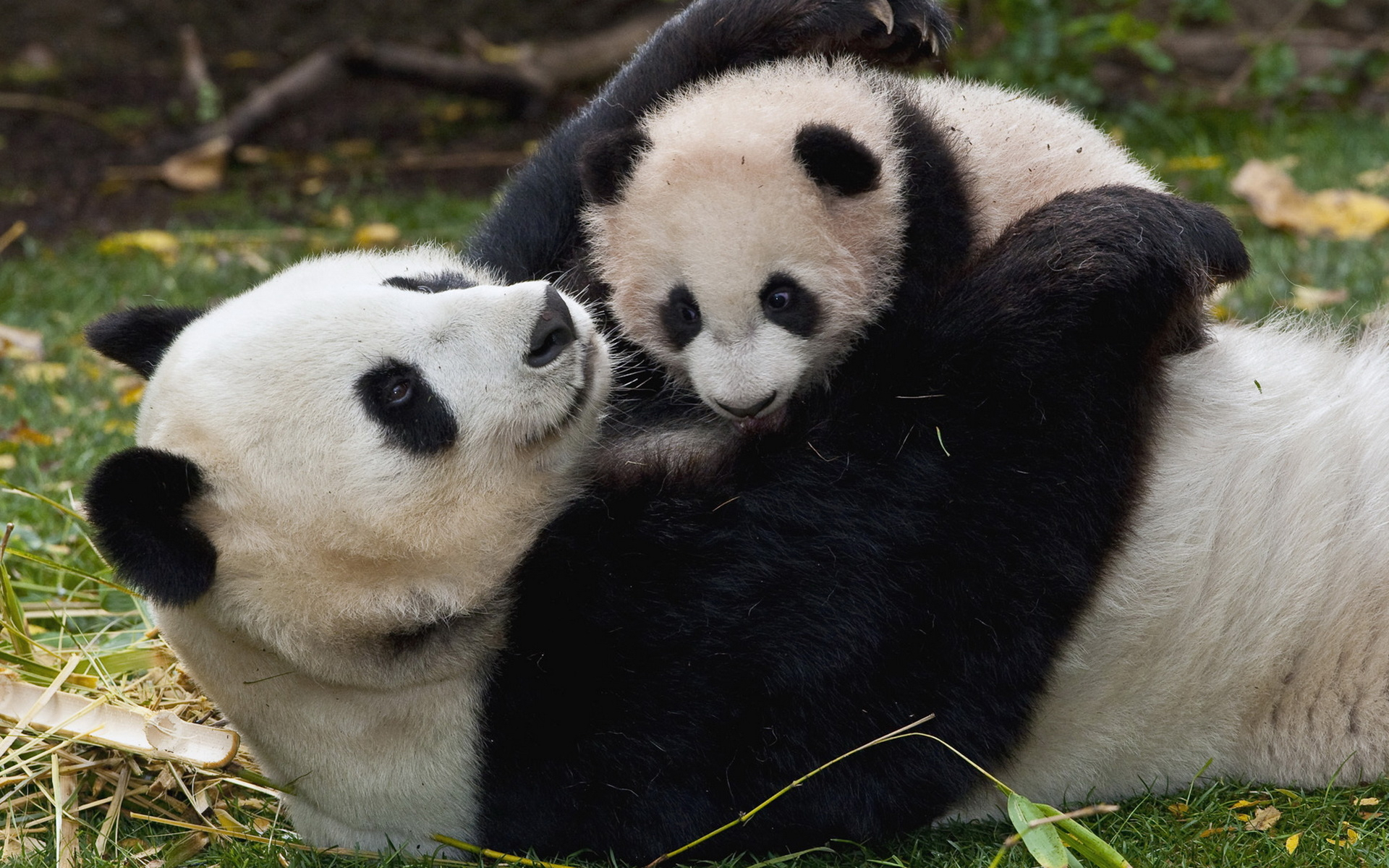 Panda and Baby wallpapers and images   wallpapers pictures photos 1920x1200