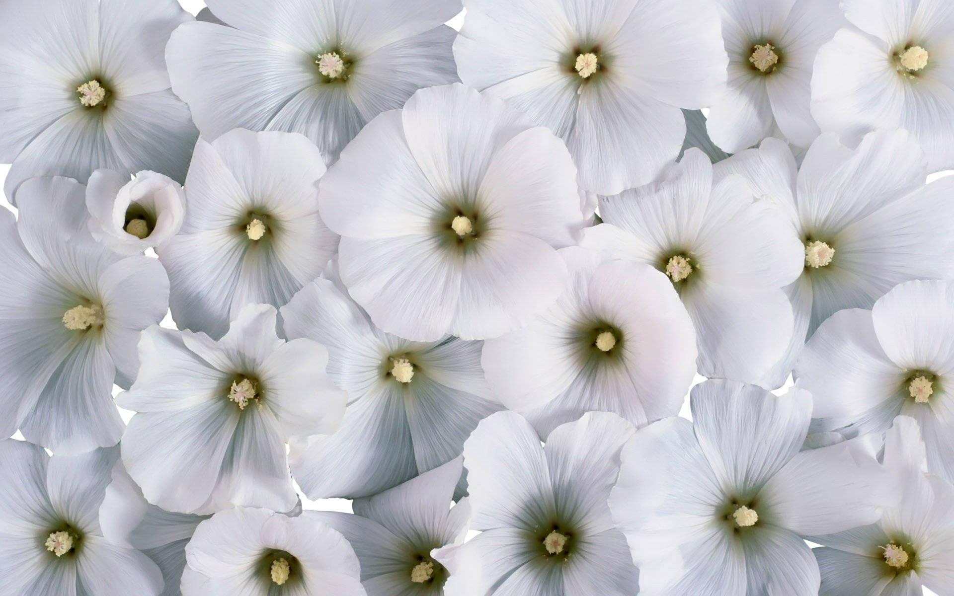 white flowers image  wallpaper hd, Natural flower
