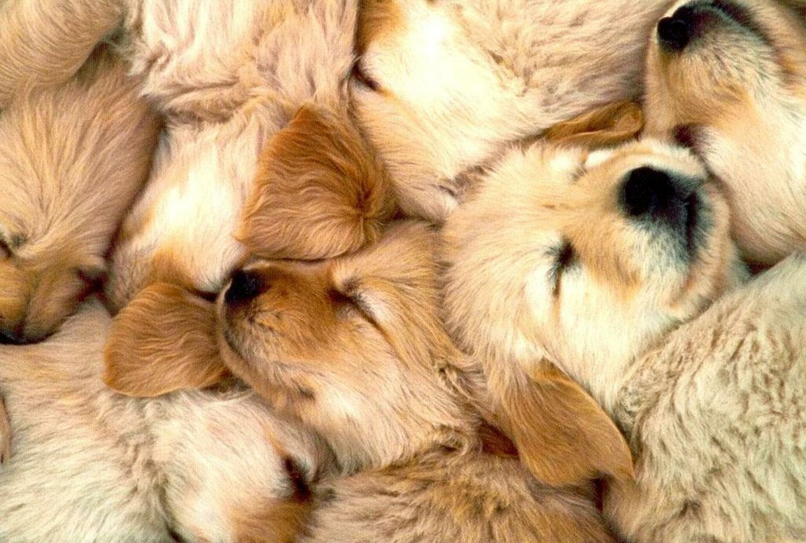 <b>Cute Golden retriever puppies sleeping</b> with big rabbit Stock Photo ...