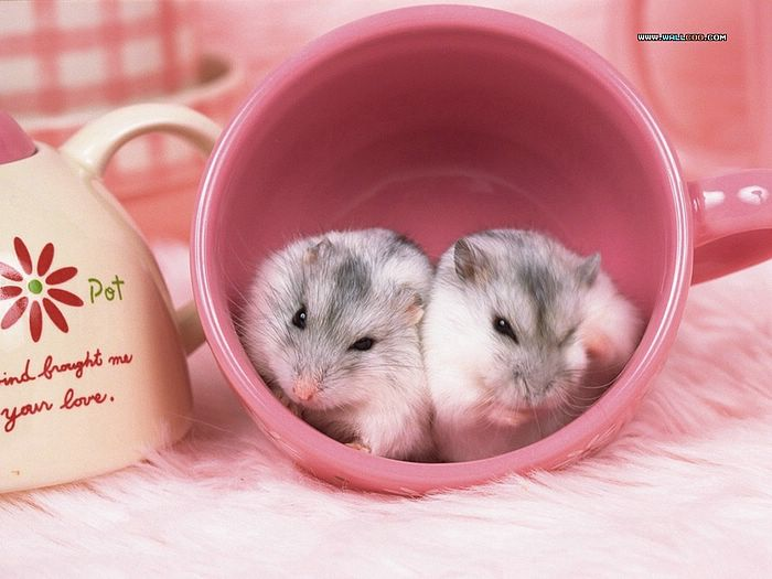 Hamsters Pic Little creatures hamsters wallpapers Lovely hamsters 700x525