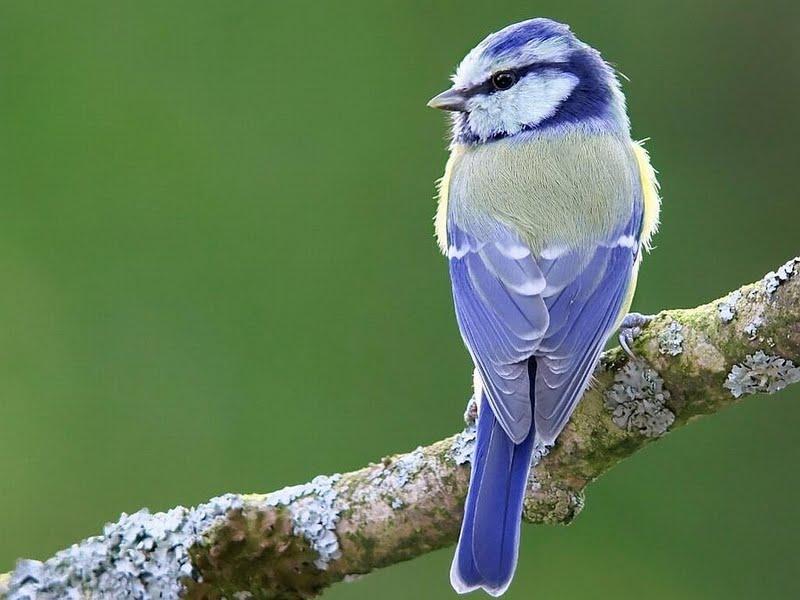 Blue Bird Wallpaper Walltor 800x600
