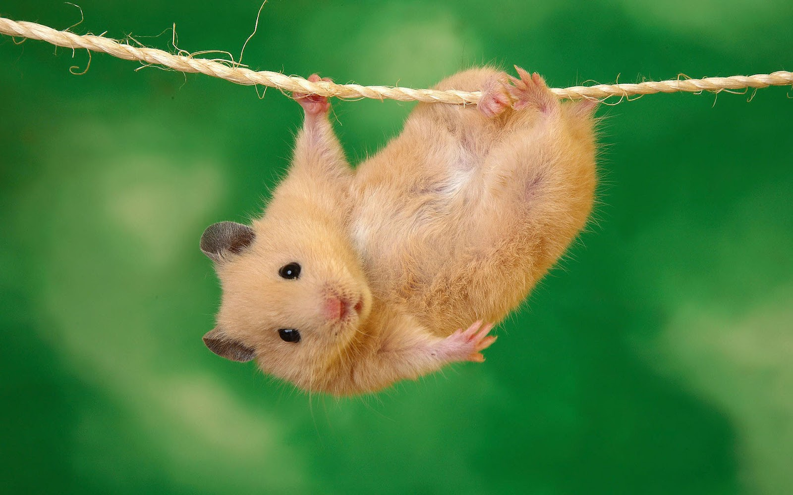 Cute Hamster Wallpaper Images amp Pictures   Becuo 1600x1000