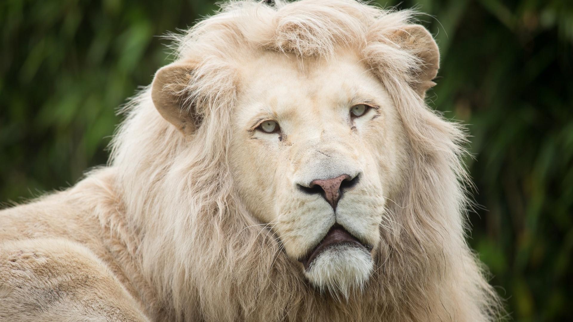 white lion background wallpapersafari