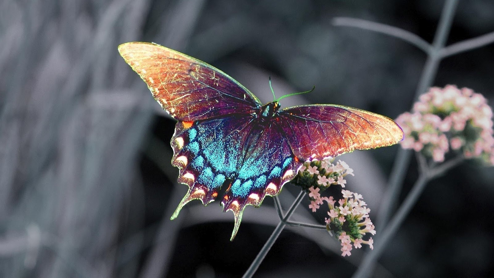 HD animal wallpaper with a brown blue butterfly sitting on a branch 1600x900