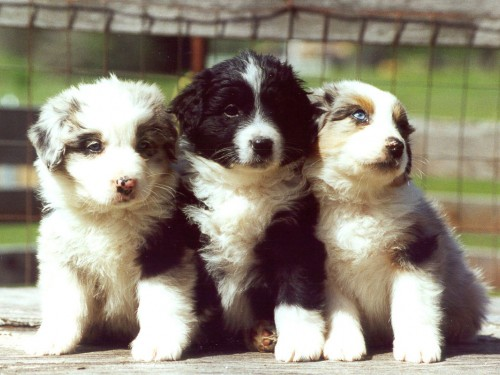 httpwww8screensaverscomdownload puppies animal 1 screensaver 500x375