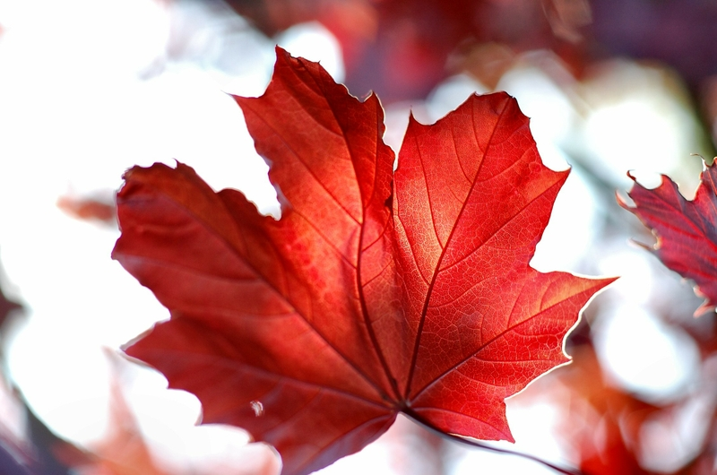 red leaves hd wallpaper - photo #16