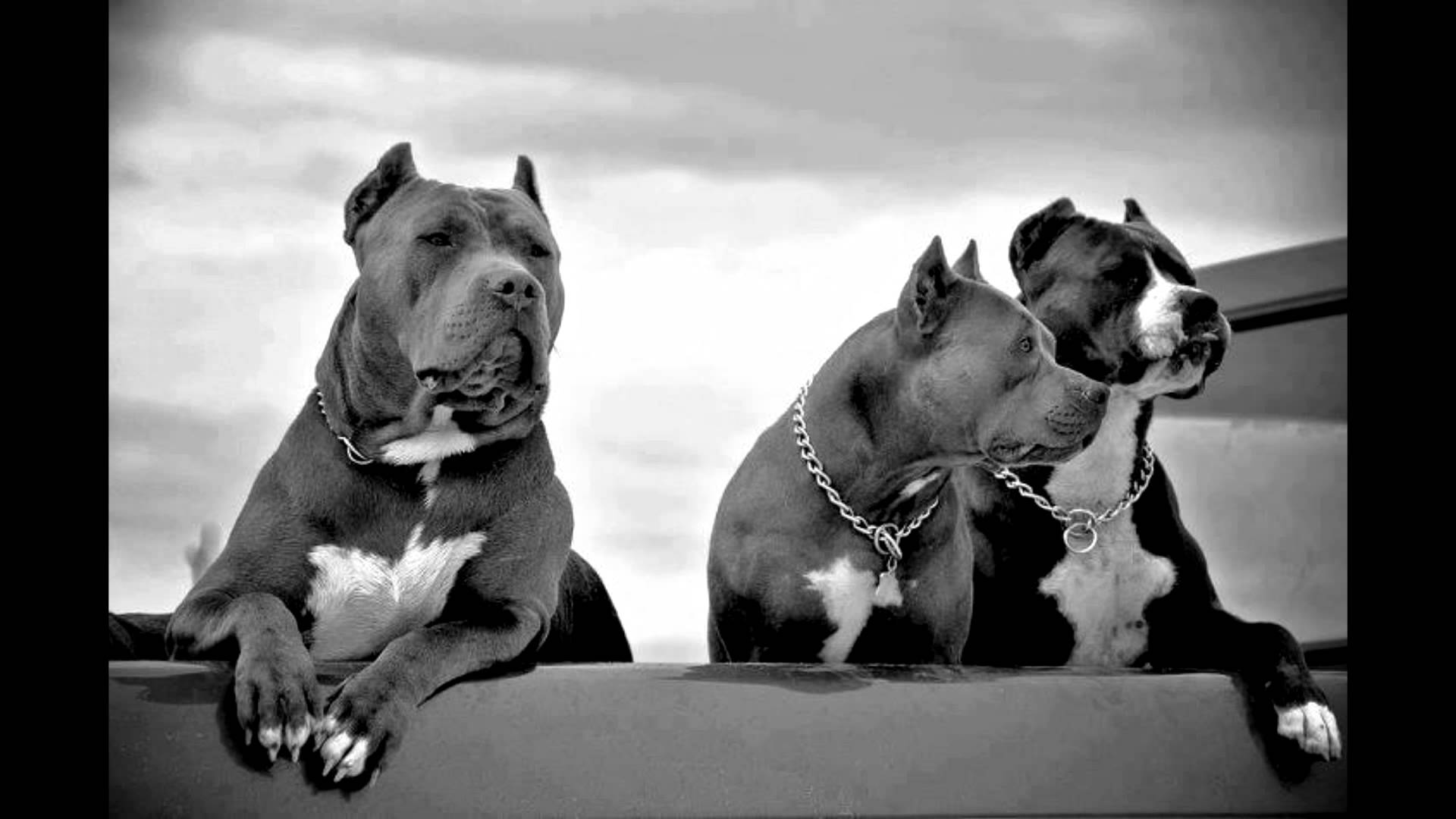 Pitbull info and Training Look no Further