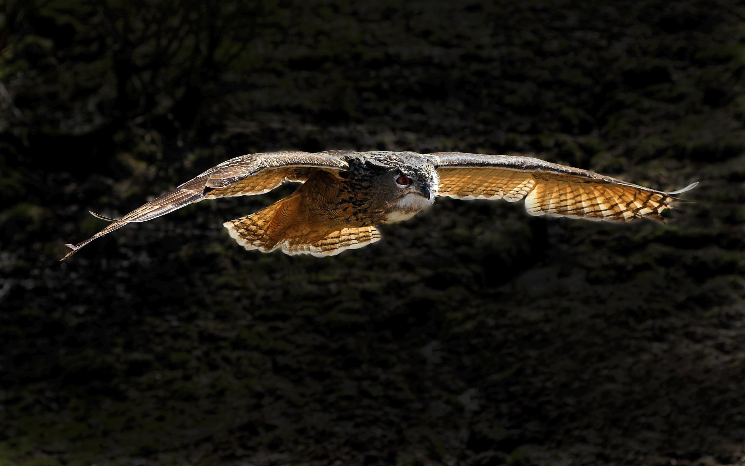 Flying owl HD Wallpaper 1920x1080 Flying owl HD Wallpaper 1920x1200 2560x1600
