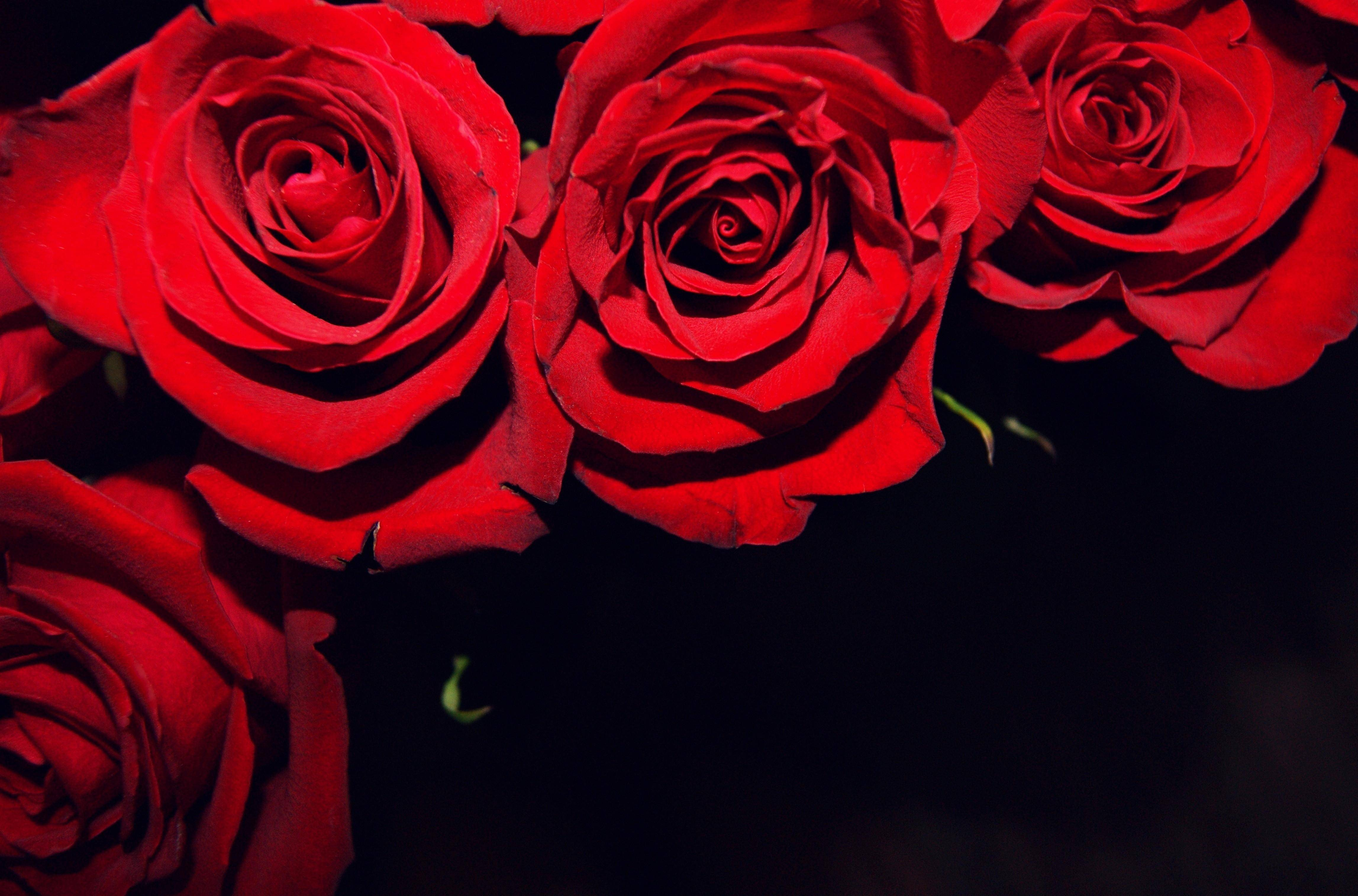 Red Roses On Black Backgrounds 4590x3030