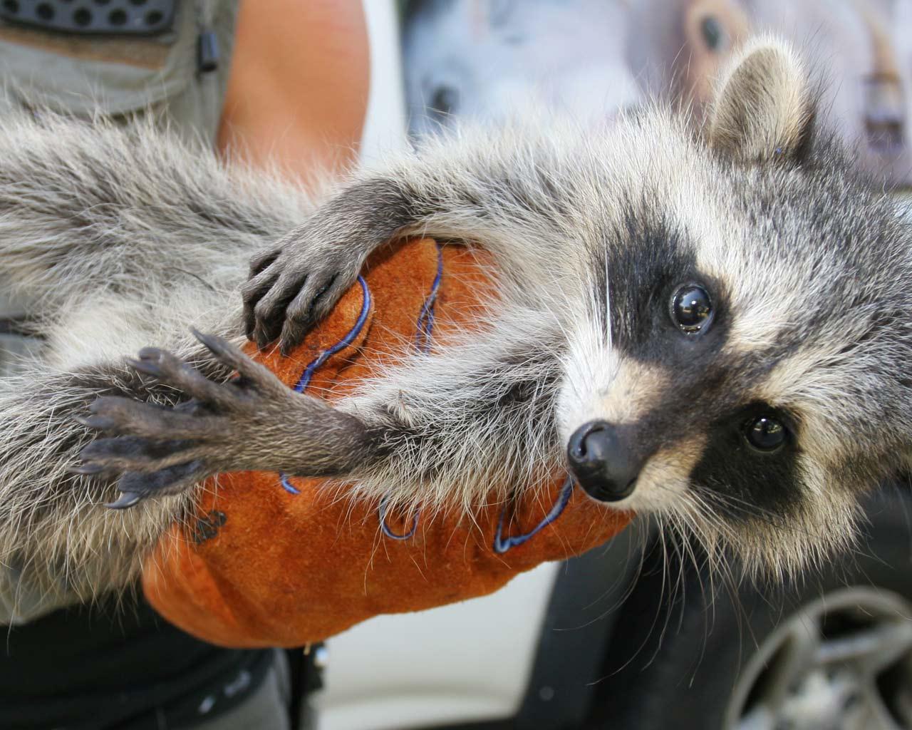 Baby Raccoon Wallpaper Baby Raccoon Wallpaper 1280x1024
