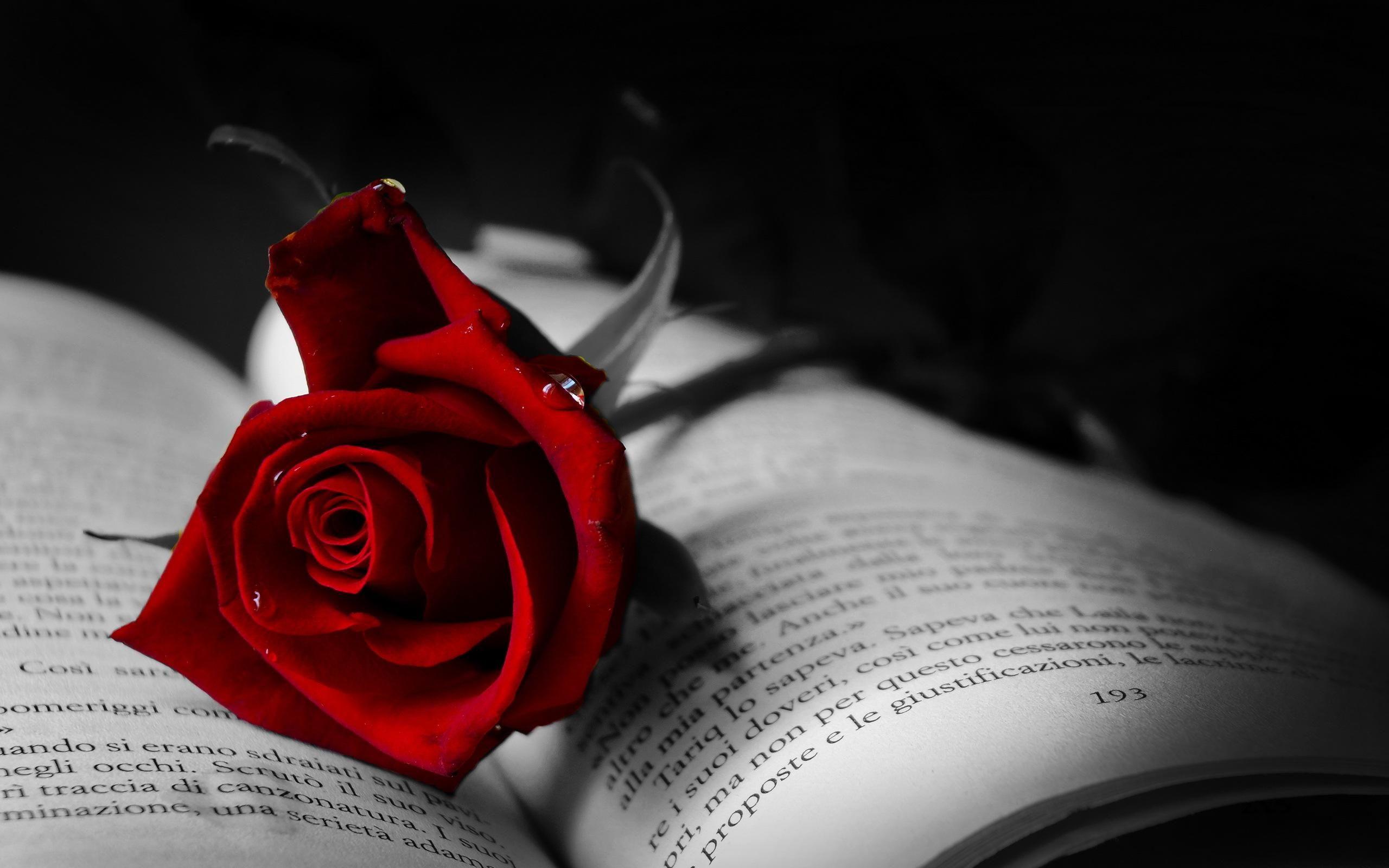 Red roses Gothic rose Dark red roses 2560x1600