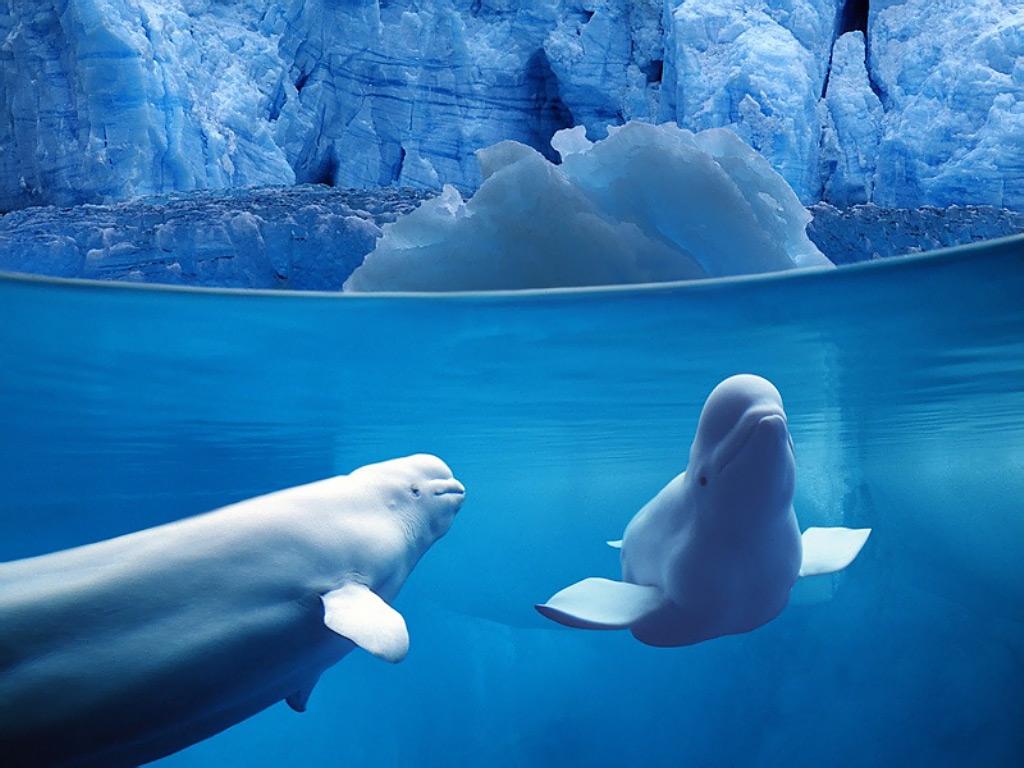 Belugas Underwater Ocean Life 1024x768