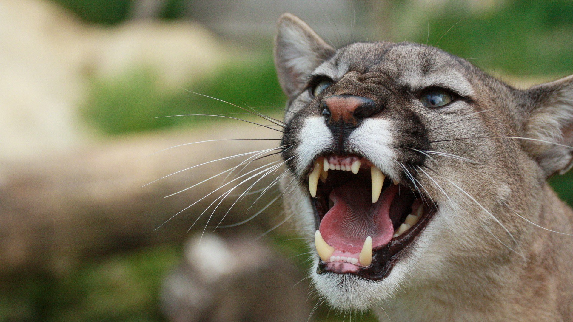 Free Download Mountain Lion Roaring Hd Wallpaper Wallpaper List