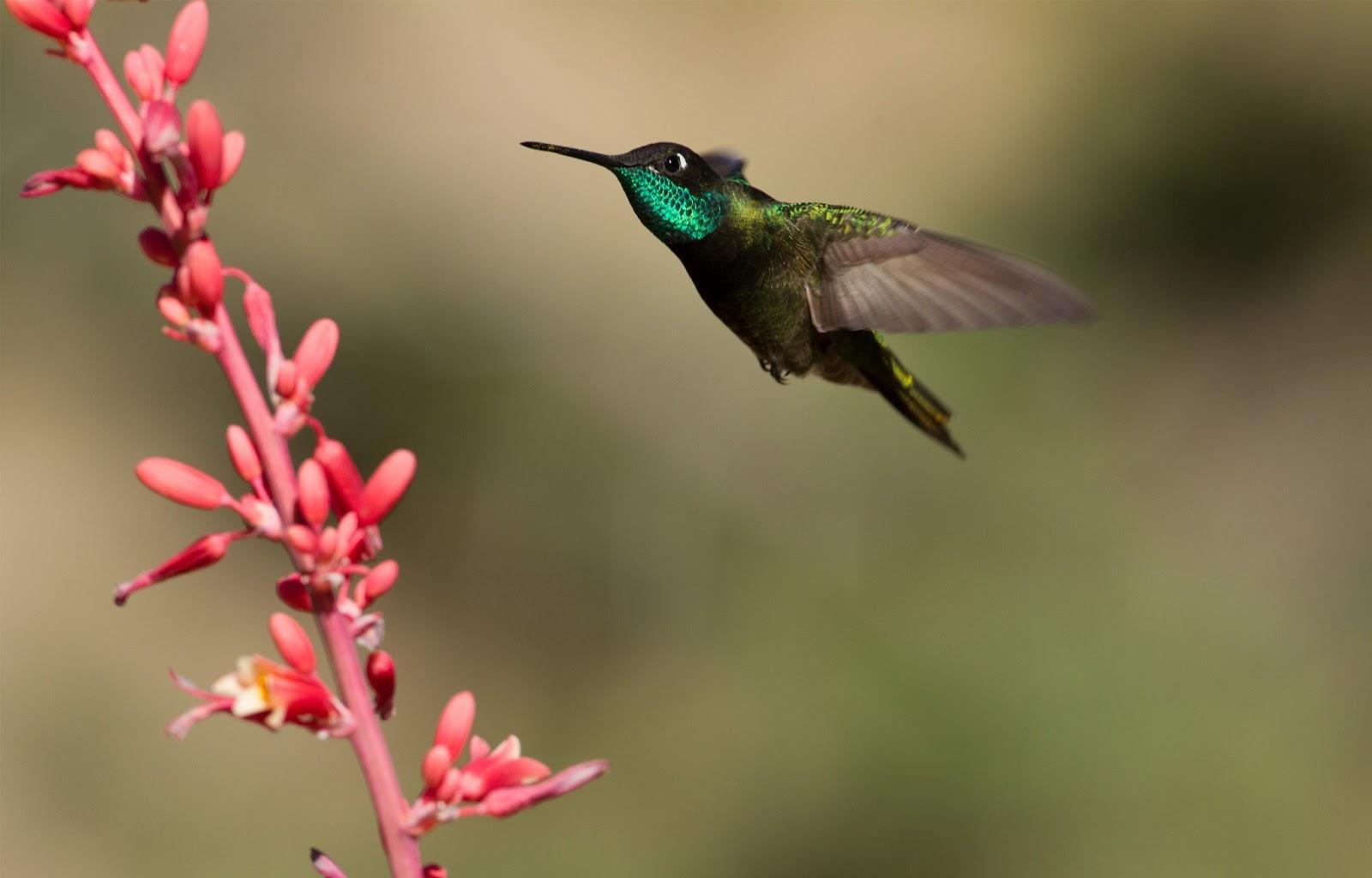 Free hummingbird wallpaper wallpapersafari - Wallpaper 1600x1024 ...
