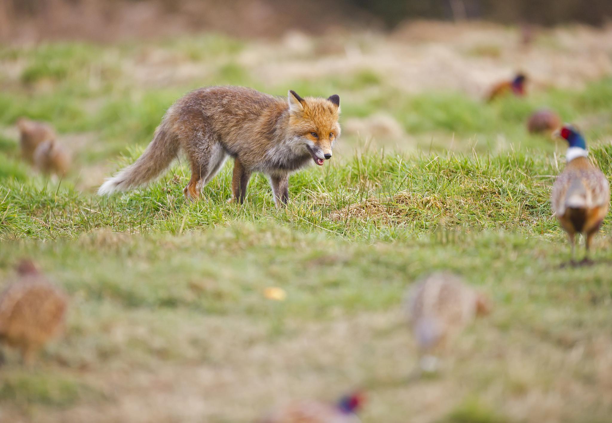 desktop fox hunting scene - photo #37