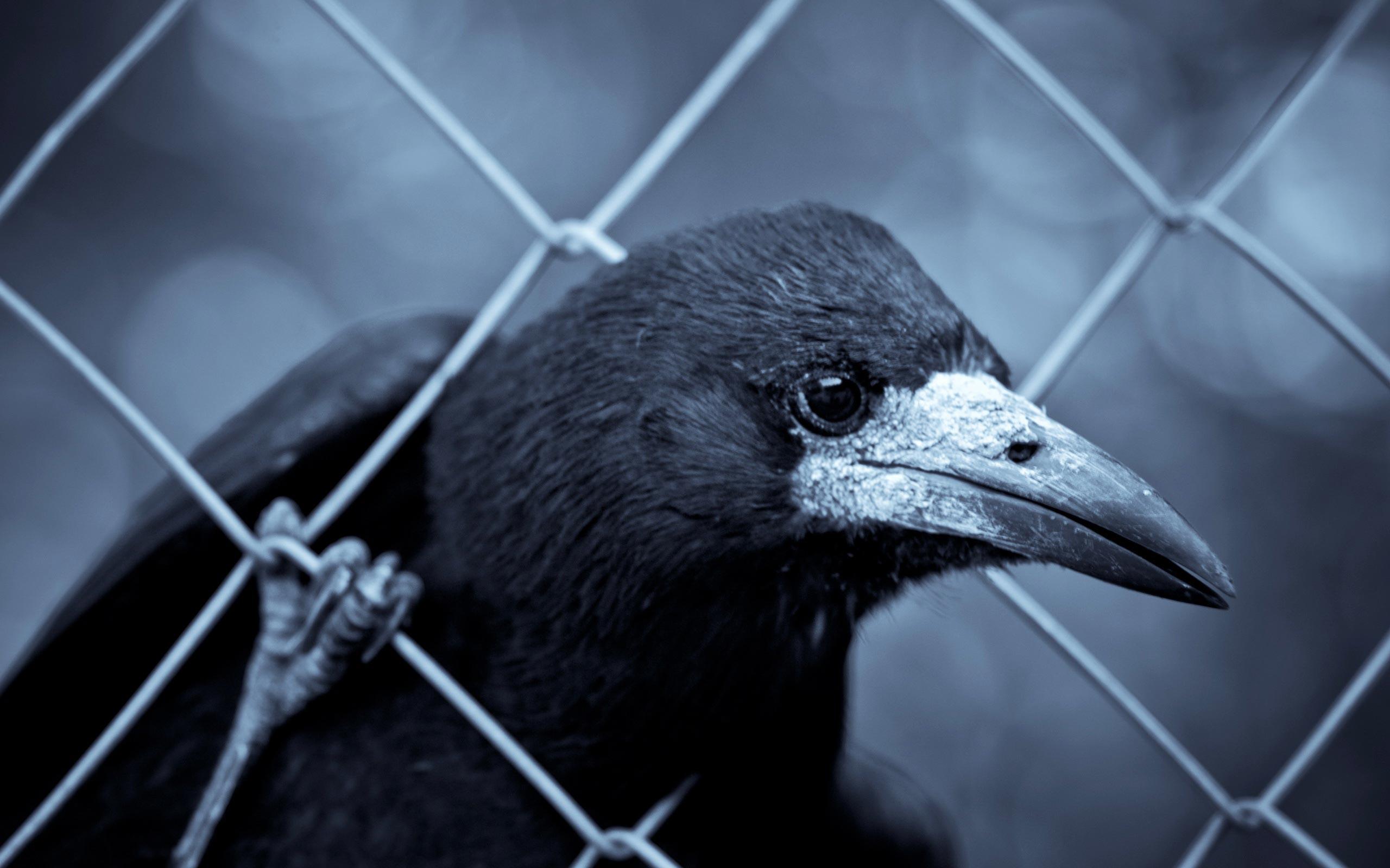 Black Raven Wallpaper HD Wallpaper WallpaperLepi 2560x1600