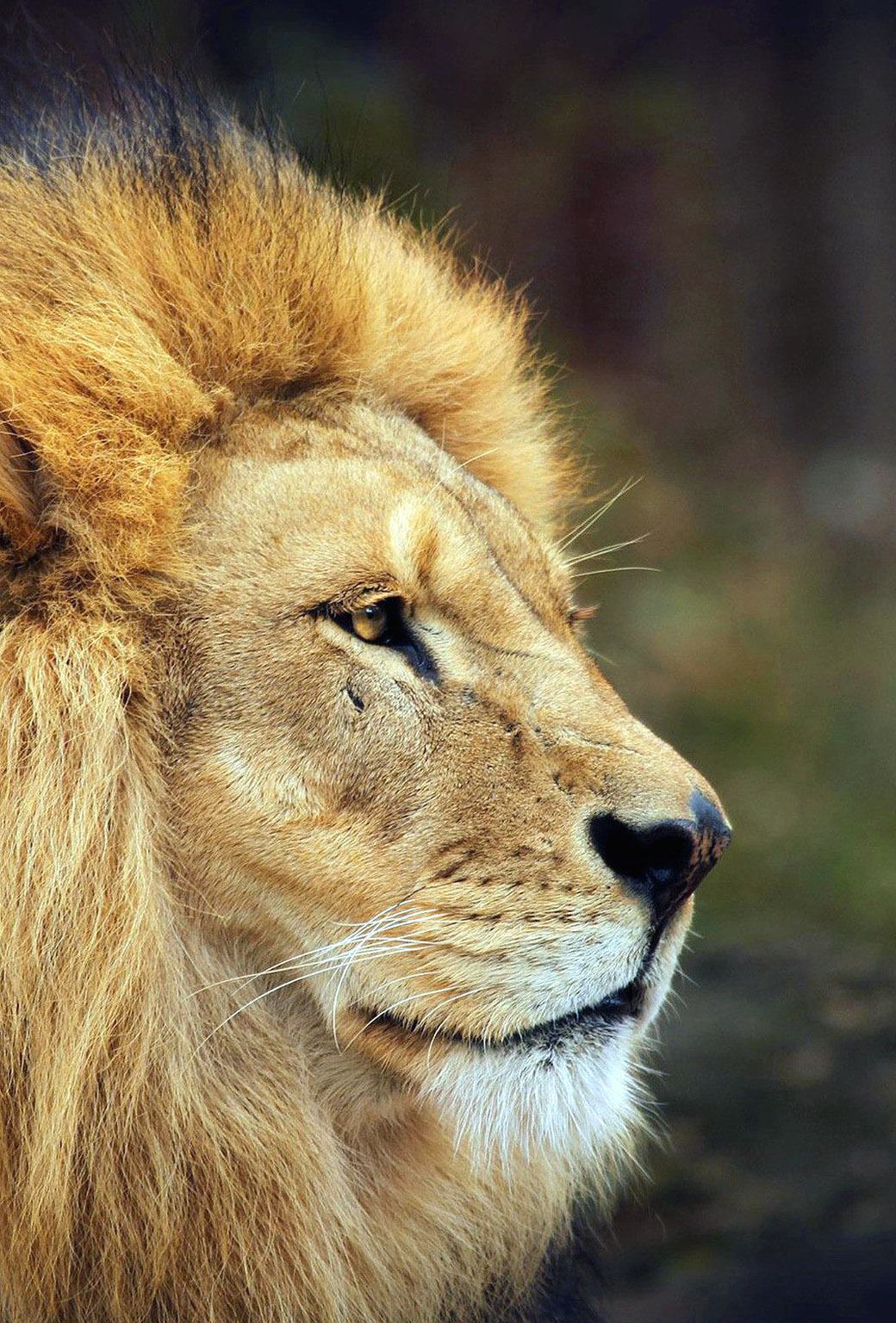 Lion wallpapers for iPhone and iPad 1040x1536
