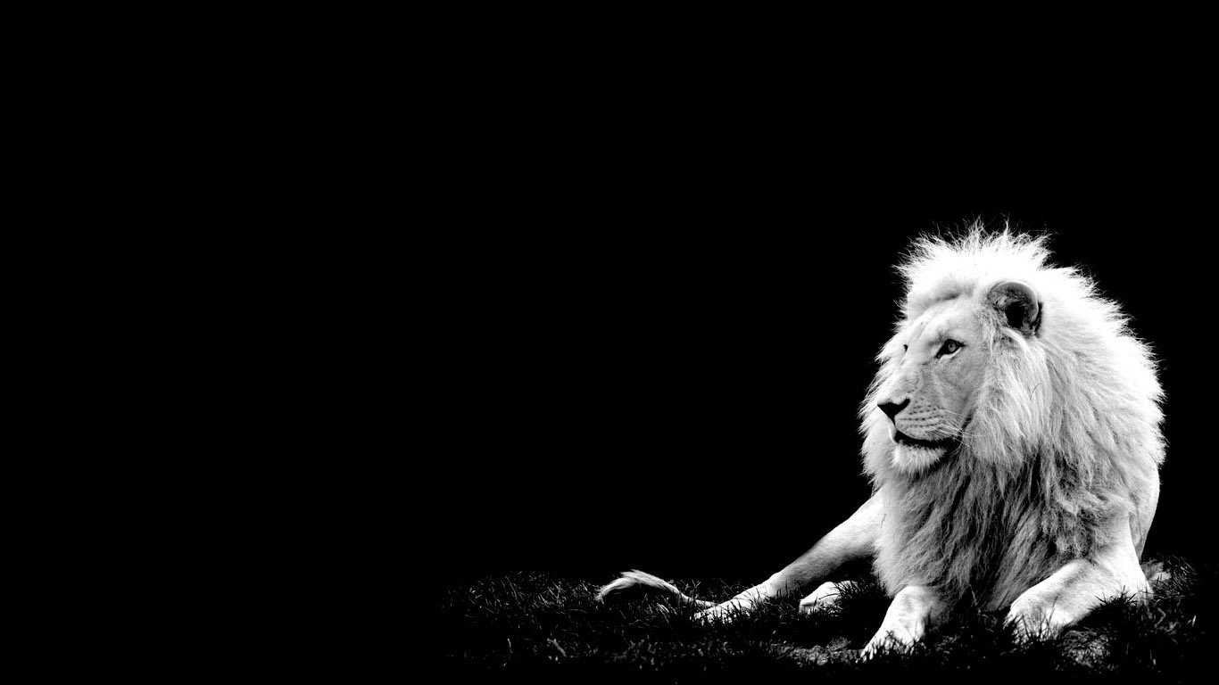 White Lion Wallpaper Desktop 10780 Hd Wallpapers in Animals 1366x768