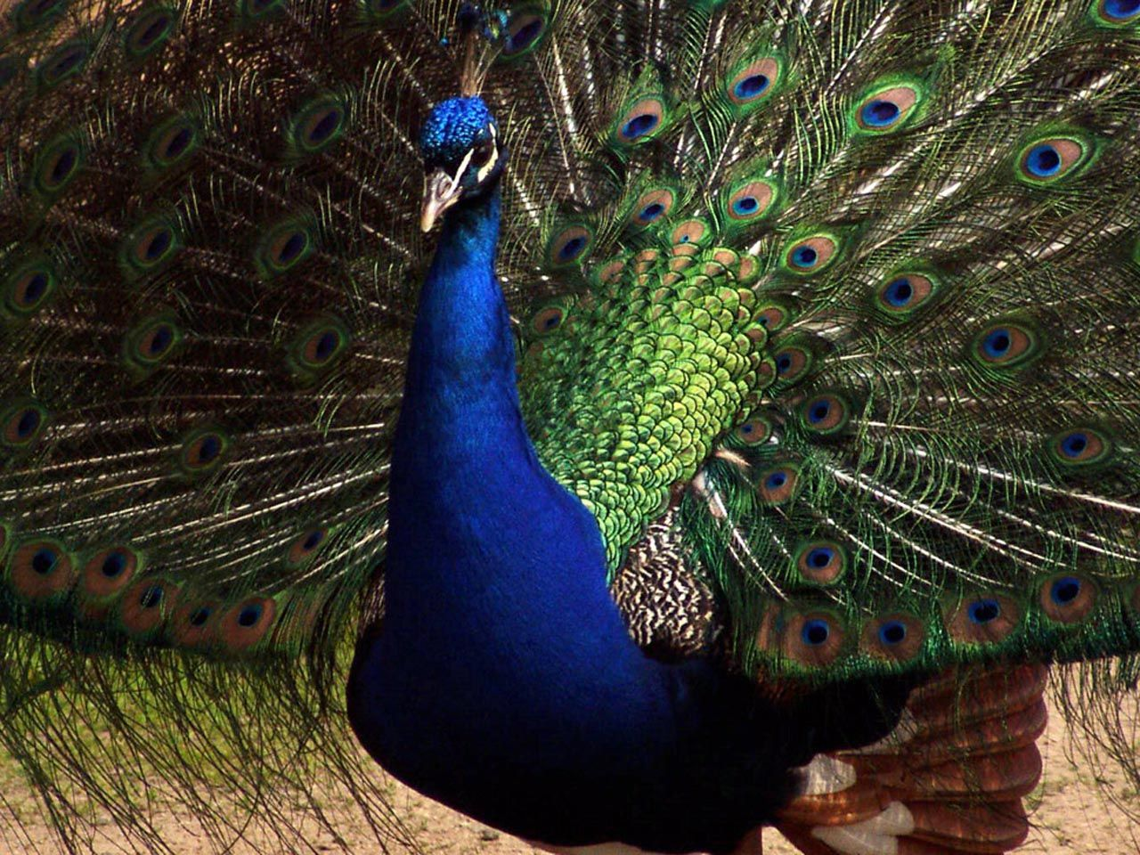 Peacock blue wallpaper Funny Animal 1280x960