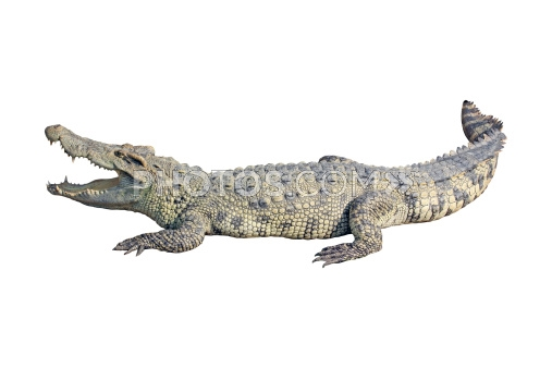 Images Crocodile With Open Mouth Isolated On White Background 507x338