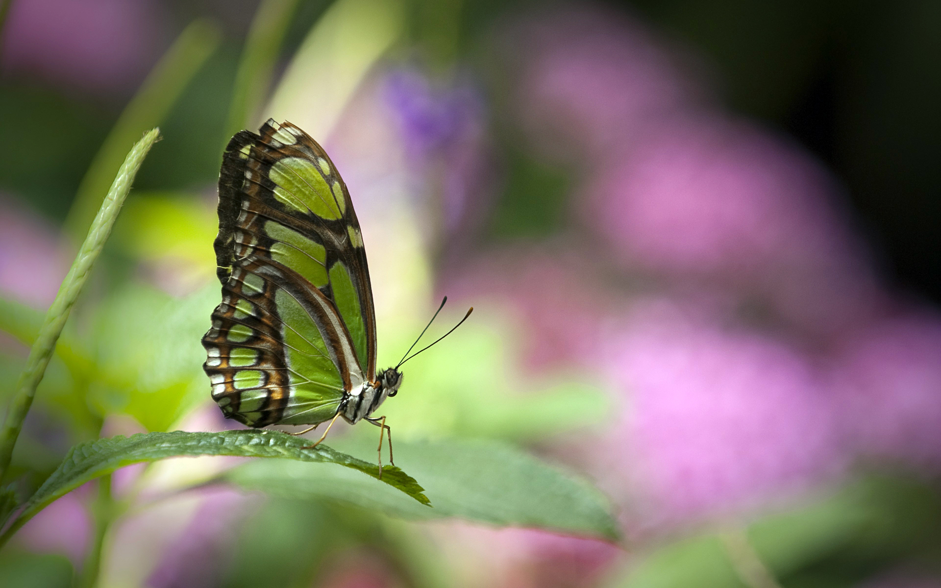 Green butterfly Wallpapers HD Wallpapers 1920x1200