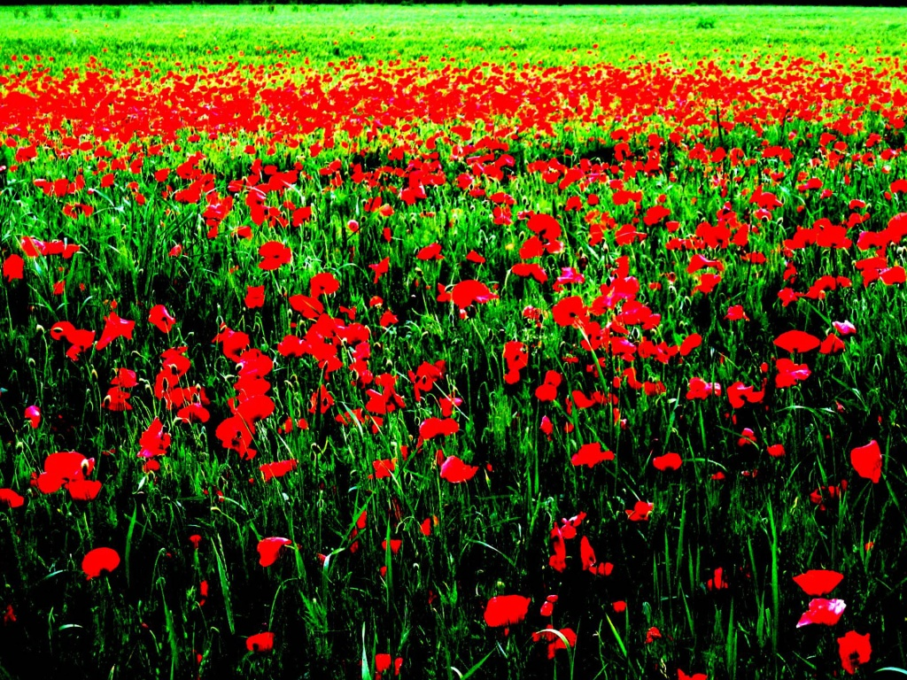 field of poppies 1024x768 wallpaper download page 590999 1024x768
