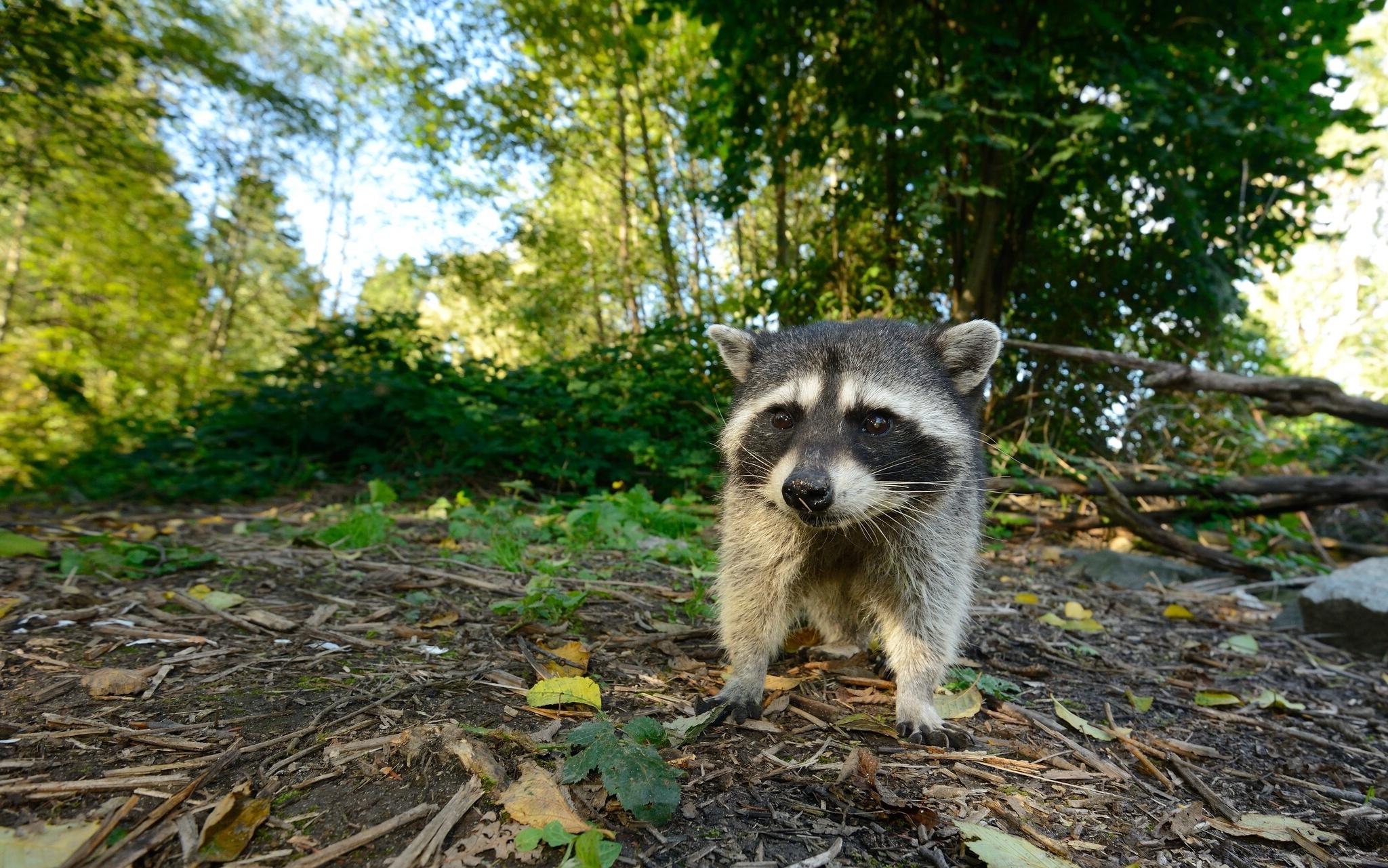Baby Raccoon Wallpaper Raccoon Baby Forest Wallpaper 2048x1281