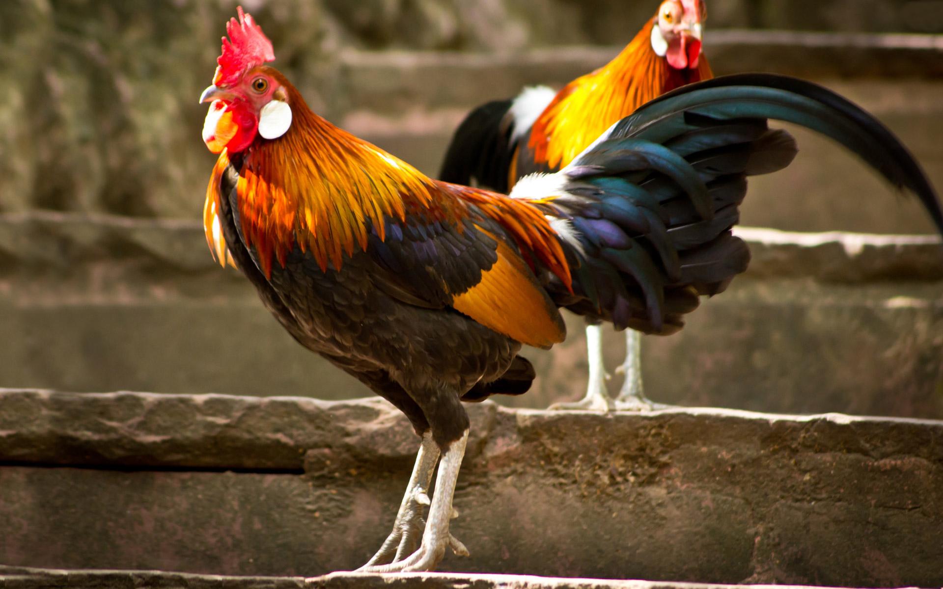 Rooster chicken wallpaper 1920x1200 133321 WallpaperUP 1920x1200