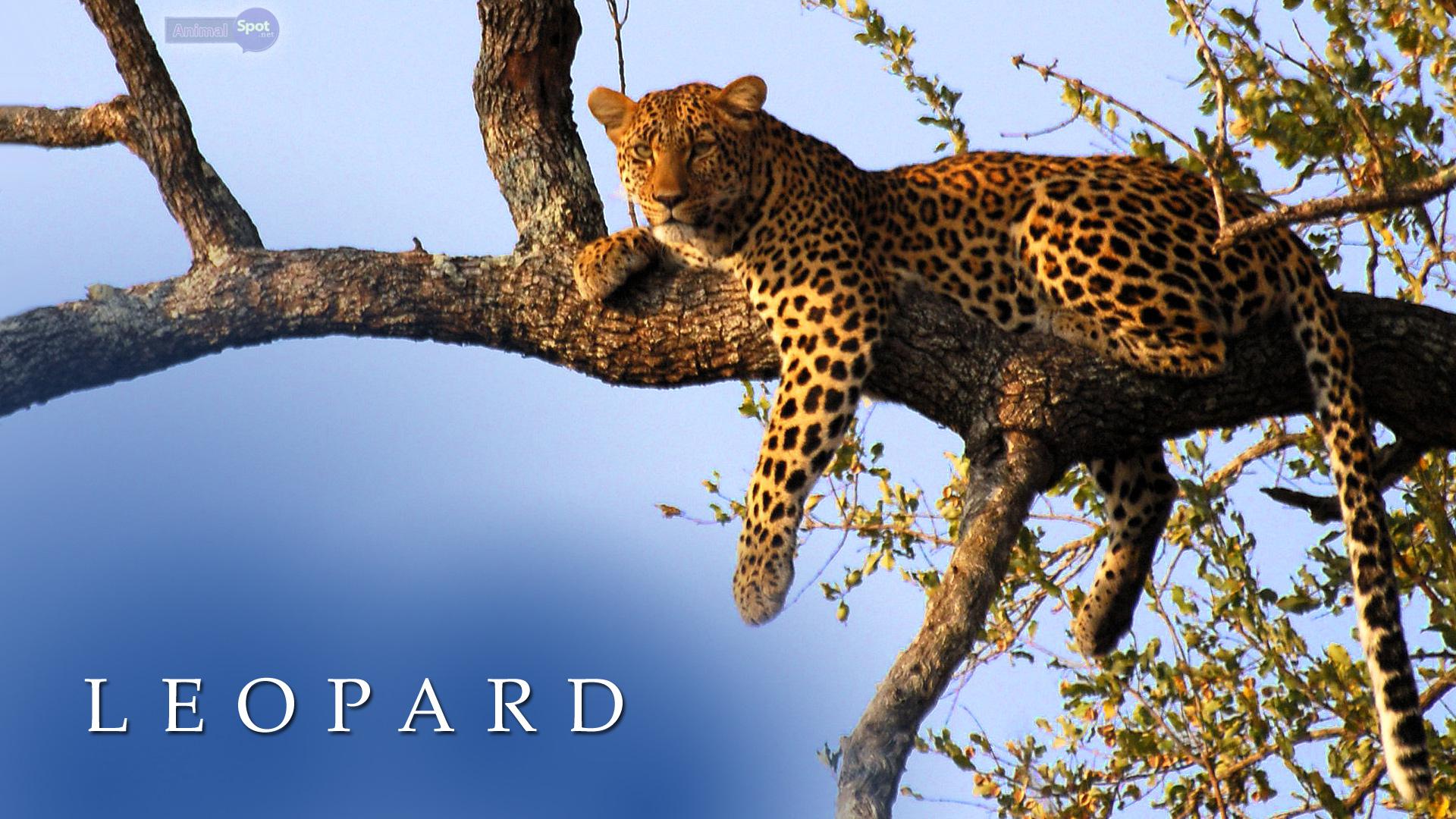 Leopard Wallpapers Animal Spot 1920x1080