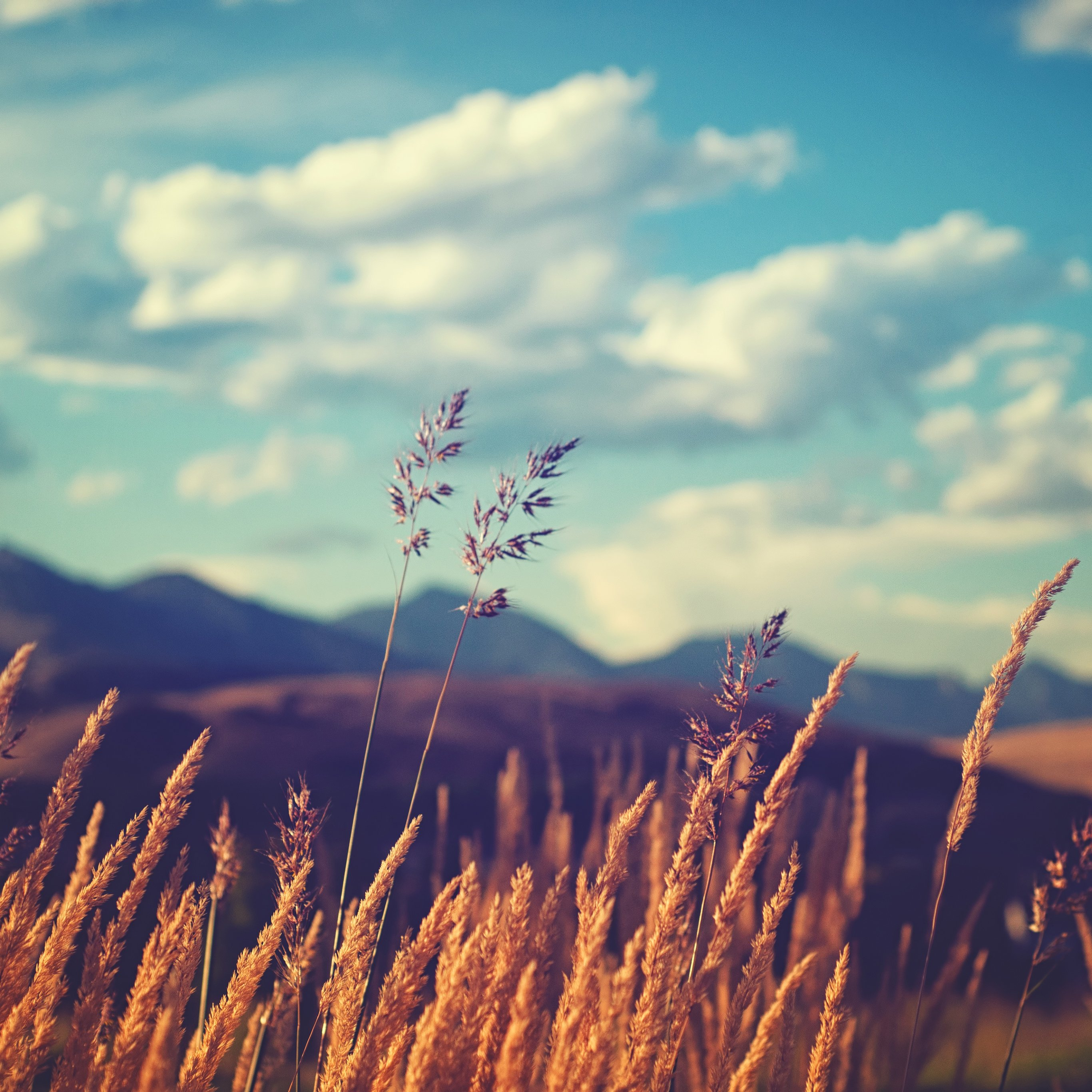 Wallpapers of the week golden fields 2732x2732