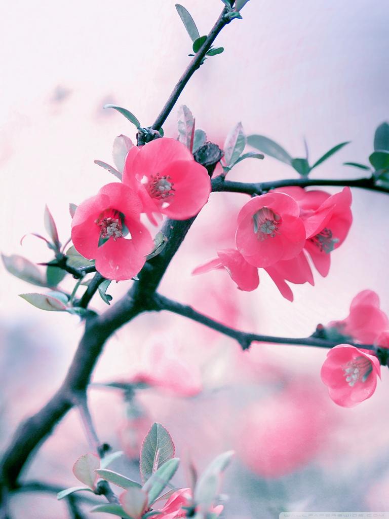 Pink Blossom Flowers Spring 4K HD Desktop Wallpaper for 4K 768x1024