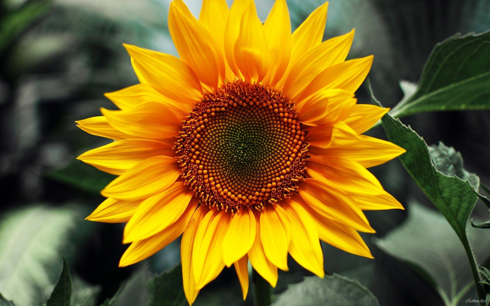 43+ HD Sunflower Wallpaper on WallpaperSafari