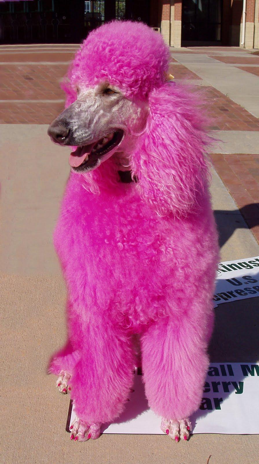 45 Pink Poodle Wallpaper On Wallpapersafari