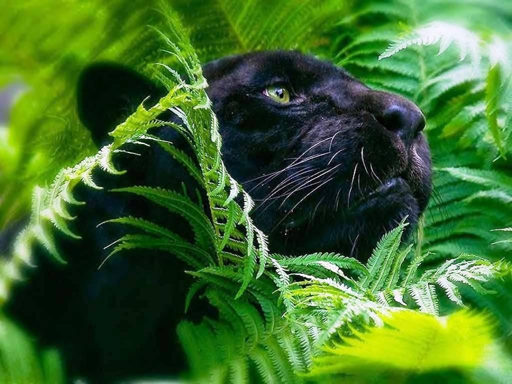 Black Panther PC Wallpaper HD Wallpaper 1024x768