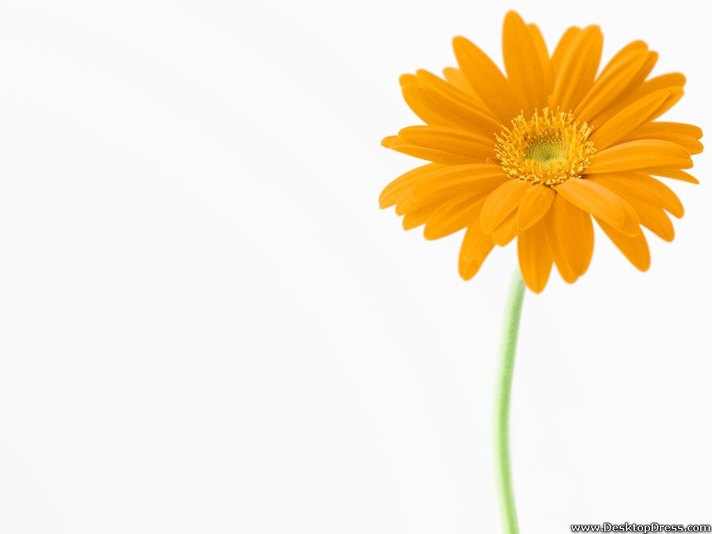 Desktop Wallpapers Flowers Backgrounds Yellow Gerbera Daisy 1024x768