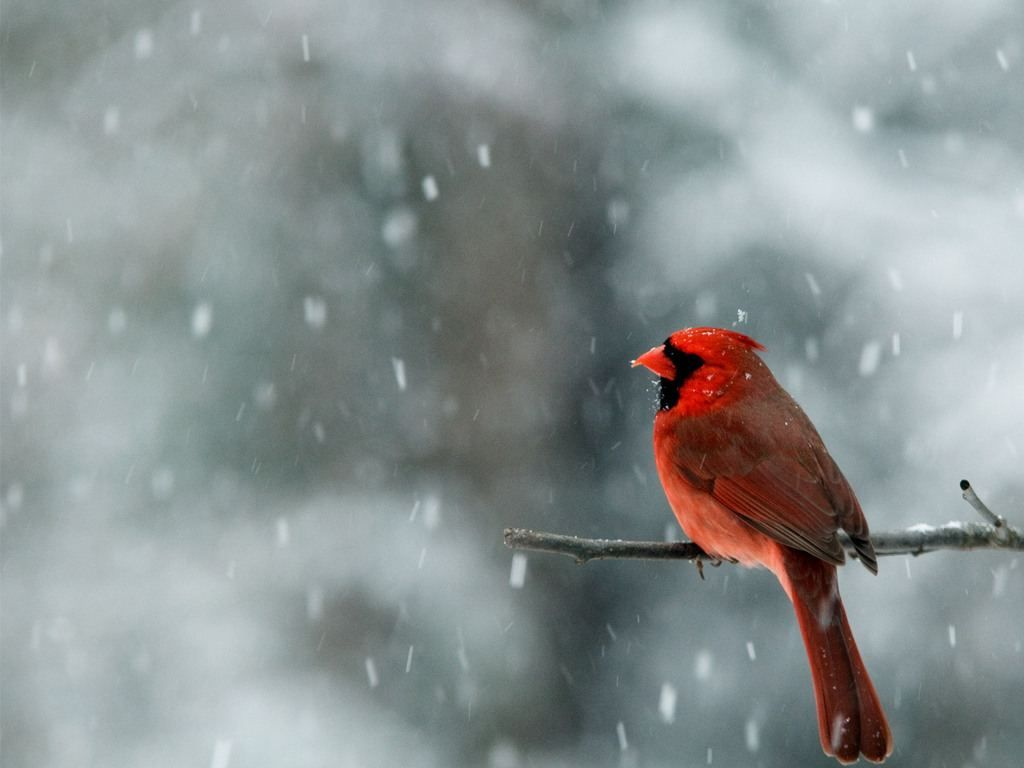 red bird in winter on sweatshirt resolution below to 1024x768