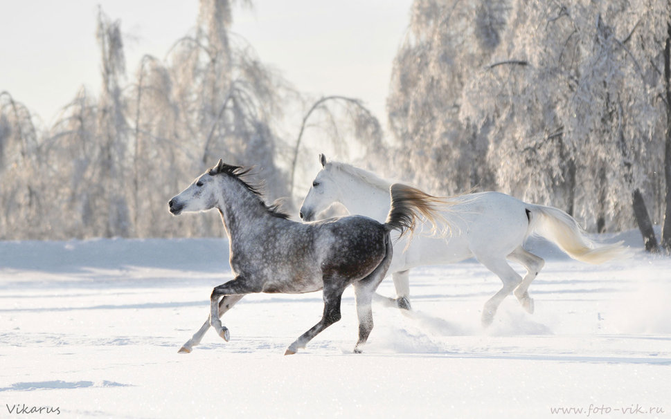snow horses Running in the Winter wallpaper   ForWallpapercom 969x606