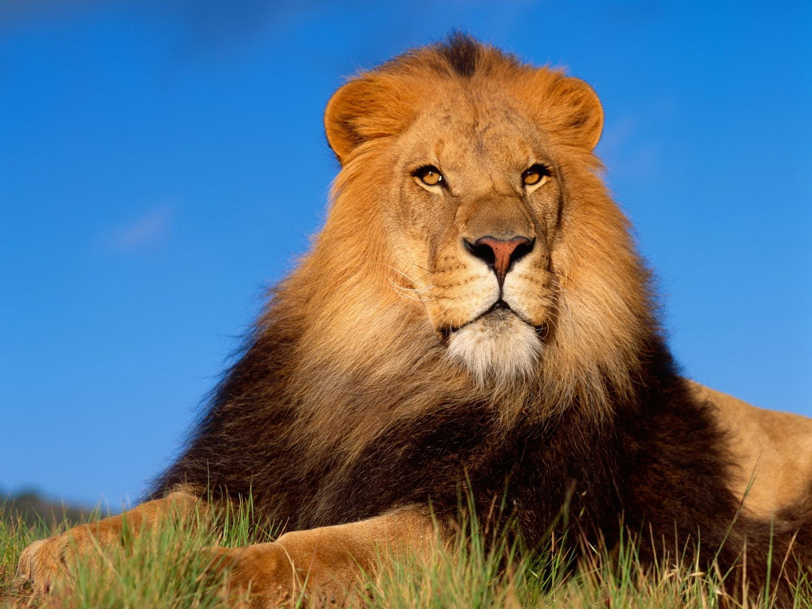 1160 Lion HD Wallpapers Background Images 1600x1200