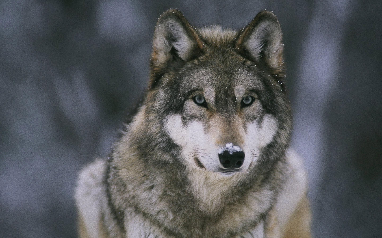 Wolf Wallpaper 8050 2880x1800