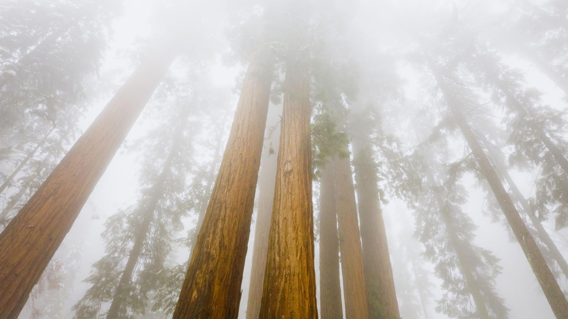 Foggy Sequoias Sequoia National Park California wallpaper 1920x1080