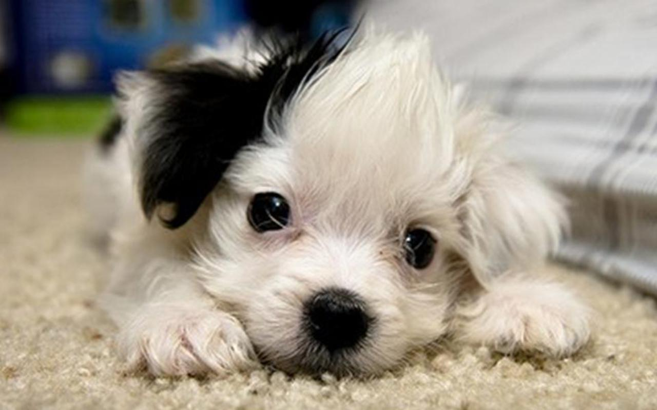 cute puppies wallpaper 4   8516   The Wondrous Pics 1280x800