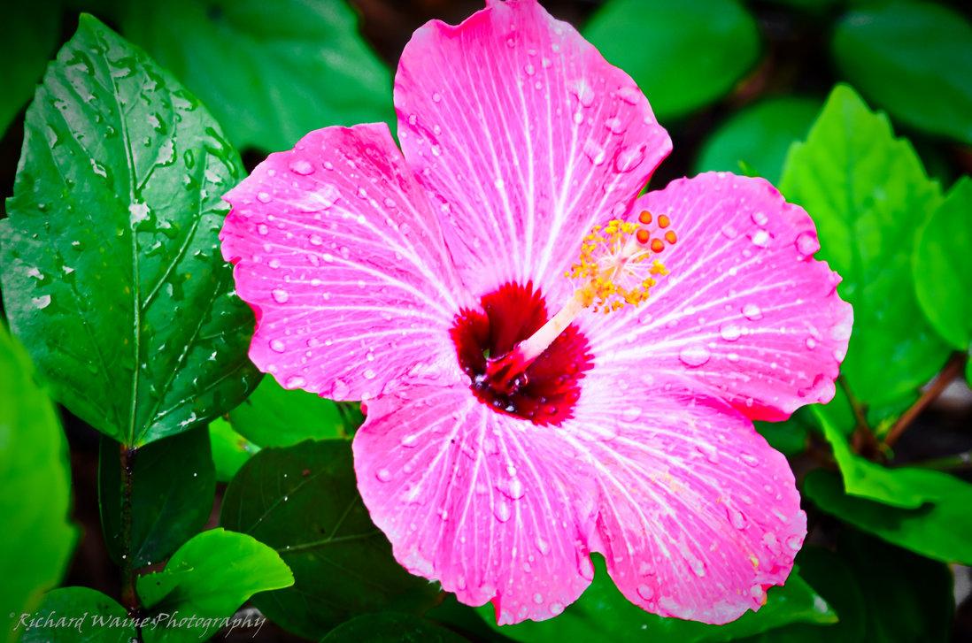Hawaiian flower wallpaper wallpapersafari tropical flowers wallpapers hd quality 1098x727 izmirmasajfo