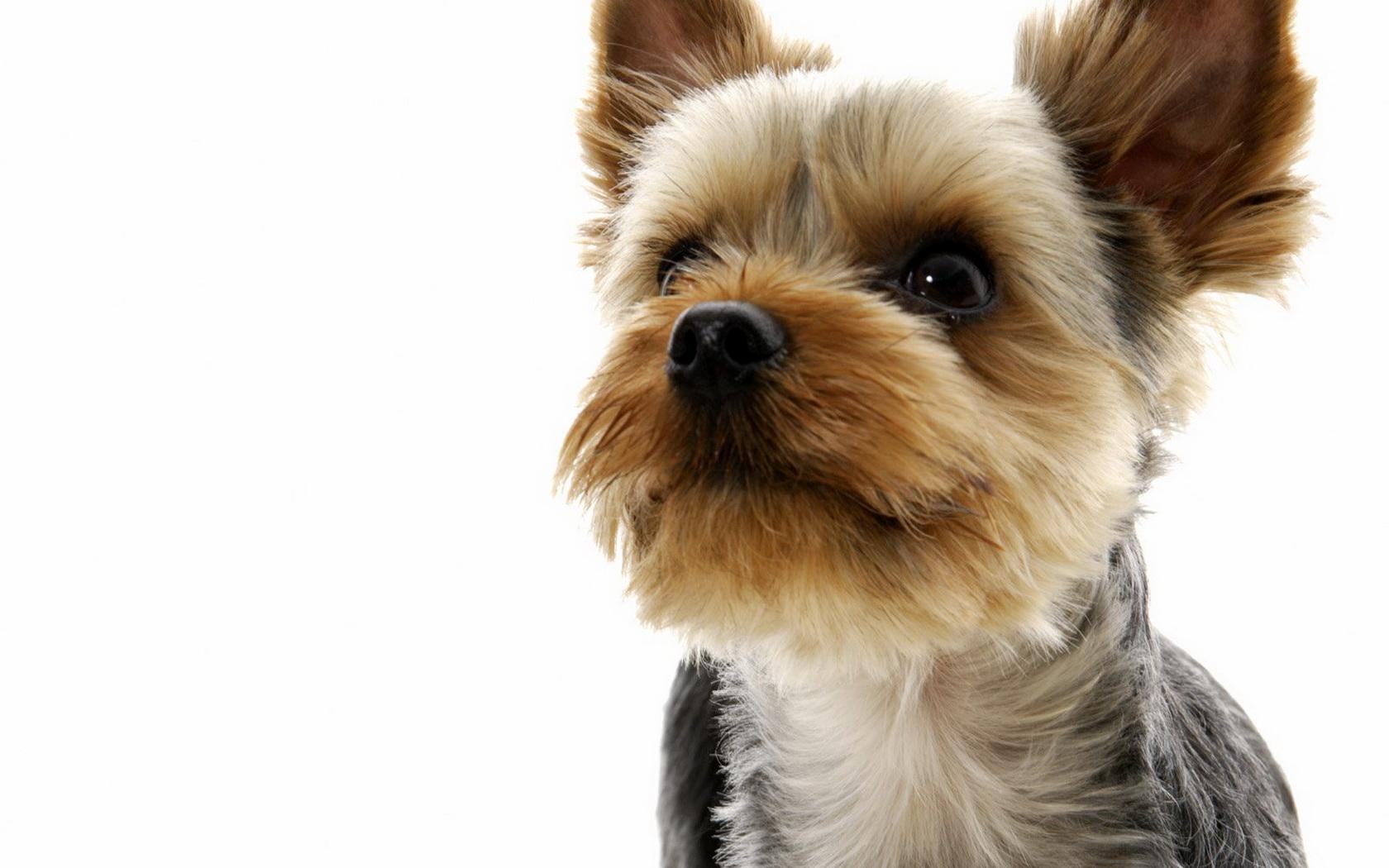 Yorkie Puppies Photos Pictures Wallpaper Desktop Dogs Desktop 1680x1050