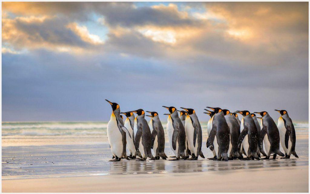 King Penguins Wallpaper king penguin wallpaper Animal 1024x640