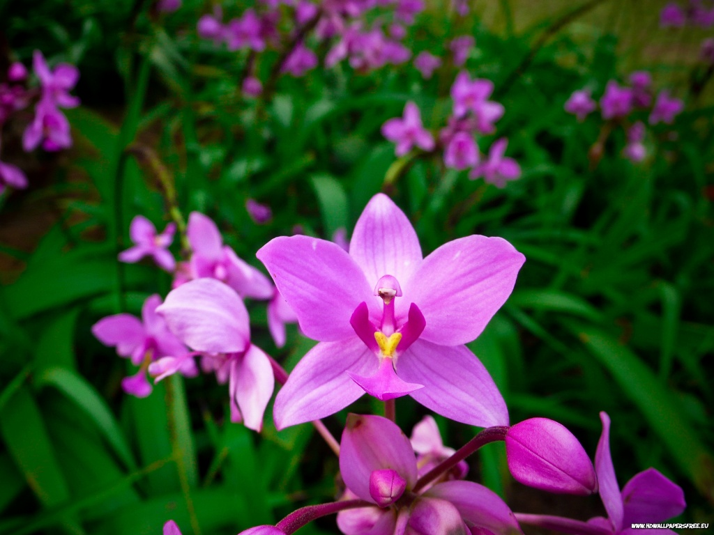 Beautiful Purple Orchid Wallpaper in 1024x768 Resolution 1024x768