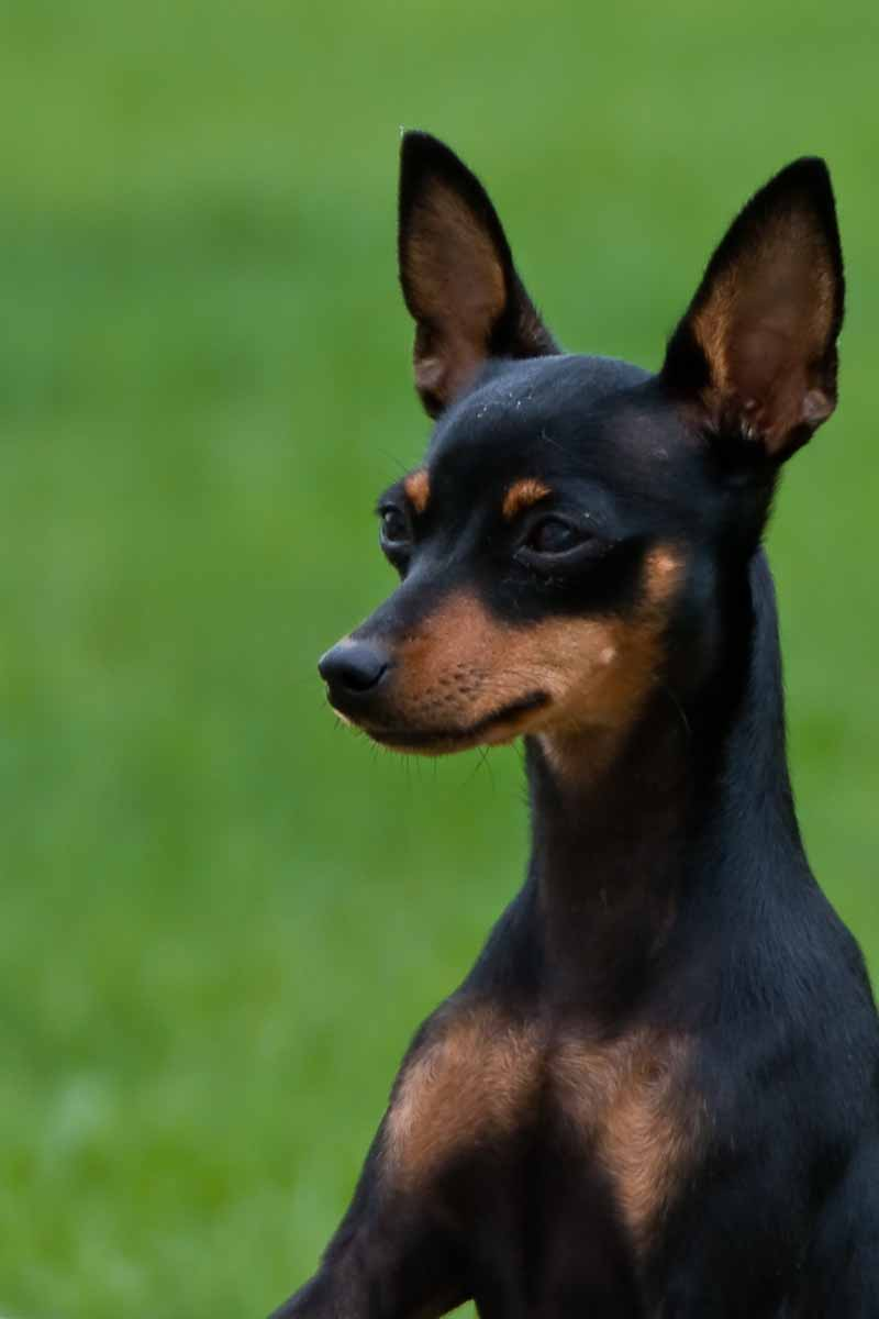 Miniature Pinscher Wallpaper Prime Wallpapers 800x1200