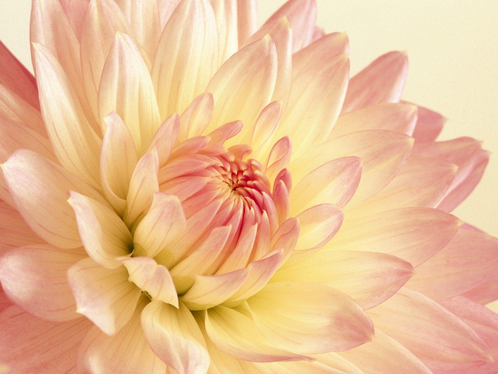 Pale Pink and Yellow Dahlia Wallpapers HD Wallpapers 1600x1200