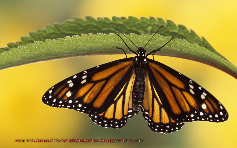 Beautiful Wallpapers Beautiful Butterflies Wallpaper 1540x962