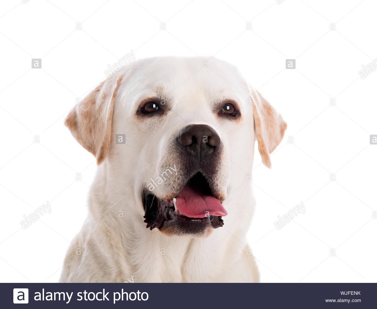 close yp portrait of a beautiful labrador retriever breed 1300x1065